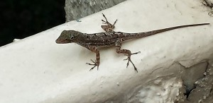 This little lizard gives our home its name