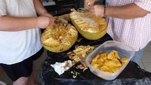 harvesting the jackfruit